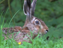 177.Zajíc polní (Lepus europaeus)