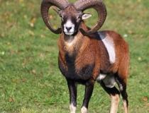 182.Muflon (Ovis musimon)