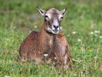183.Muflonka (Ovis musimon)
