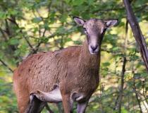 184.Muflonka (Ovis musimon)