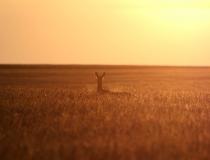 198.Srna osvětlena vycházejícím sluncem (Capreolus capreolus)