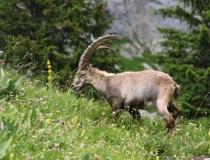 Kozorožec horský (Capra ibex)