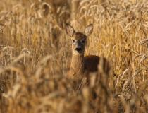 Srnče na okraji pšeničného lánu