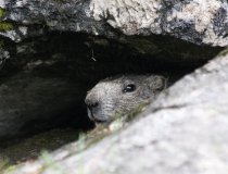 200.Svišť horský (Marmota marmota)