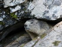 201.Svišť horský (Marmota marmota)