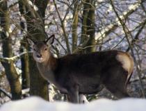 220.Kolouch jelena lesního (Cervus elaphus)