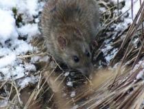 222.Potkan obecný (Rattus norvegicus)
