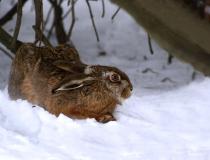 225.Zajíc polní (Lepus europaeus)