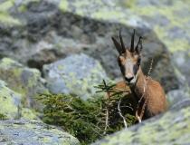 3.Kamzík horský tatranský (Rupicapra rupicapra tatrica)