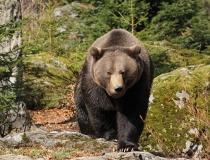 45.Medvěd hnědý (Ursus arctos)