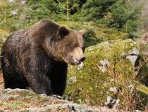 46.Medvěd hnědý (Ursus arctos)