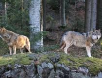 47.Vlk obecný (Canis lupus)
