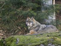 48.Vlk obecný (Canis lupus)