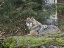 49.Vlk obecný (Canis lupus)