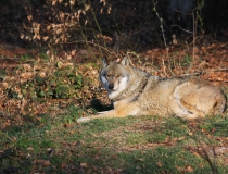 50.Vlk obecný (Canis lupus)
