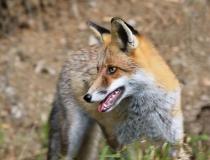 62.Liška obecná (Vulpes vulpes)