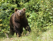 66.Medvěd hnědý (Ursus arctos)