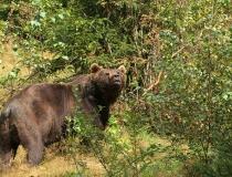 67.Medvěd hnědý (Ursus arctos)
