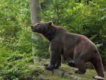 68.Medvěd hnědý (Ursus arctos)