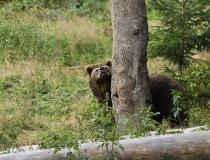 69.Medvěd hnědý (Ursus arctos)
