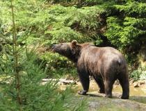 70.Medvěd hnědý (Ursus arctos)