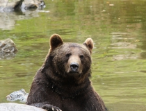 71.Medvěd hnědý (Ursus arctos)