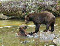 72.Medvěd hnědý (Ursus arctos)