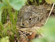 99.Zajíček (Lepus europaeus)